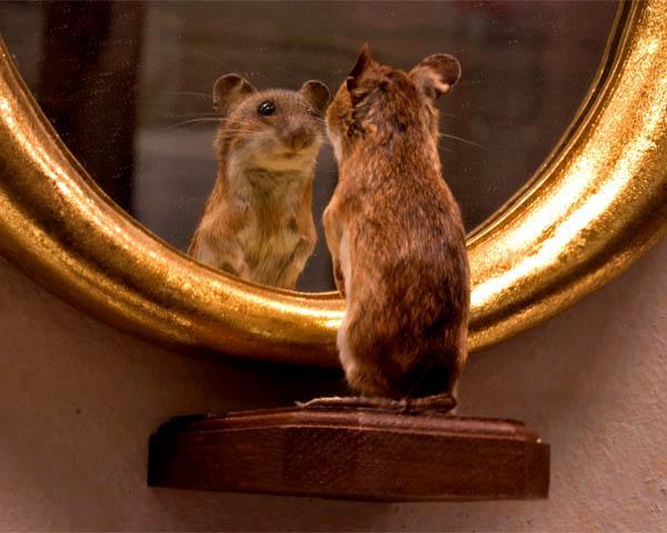 Рефлексия мыши перед парадным зеркалом